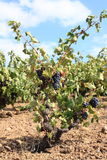 Vine in Roussillon. Region of France Stock Photography