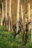 Vine in a row Royalty Free Stock Photo