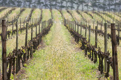 Vine rows Royalty Free Stock Photos