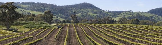 Vine rows in the Barossa Valley. Vine rows during spring time in the Barossa Valley, Australia Stock Image