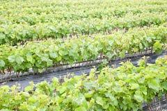 Vine saplings Stock Photos