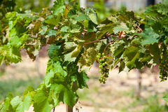 Vine with small bunch of grapes Royalty Free Stock Image