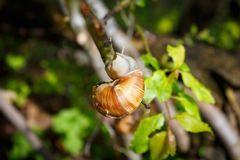 Vine snail creeps up a branch.  Stock Photos