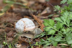 Vine snail while eating Royalty Free Stock Photo