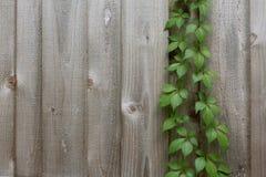 Vine som växer i ett staket Fotografering för Bildbyråer