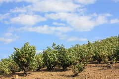 Vine in south of France Stock Image