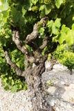 Vine in spring Stock Photo