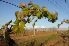 Vine in spring, Occitanie Stock Image