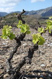 Vine in spring, Pyrenees orientales  in France Stock Photography