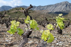 Vine in spring, Pyrenees orientales  in France Royalty Free Stock Image