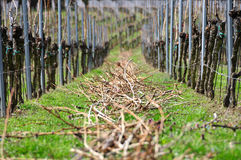 Vine at spring. After the winter in the spring the vine will be cutting for the next vintage Stock Images