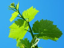 Vine sprout Stock Photography