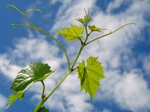 Vine sprout Royalty Free Stock Photos
