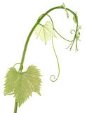 Vine sprout Stock Images