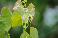 Vine sprout with young bunch of grapes Stock Photos