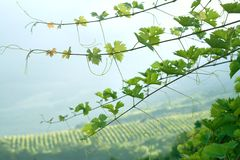 Vine sprouts. Fresh green vine sprouts at the vine yard royalty free stock image