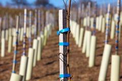 Vine stock Stock Photo