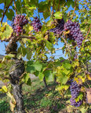 Vine stock with blue grapes Royalty Free Stock Photography