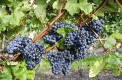 Vine stock with blue grapes Royalty Free Stock Photo