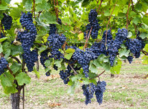 Vine stock with grapes of the variety Blauburger Stock Photography