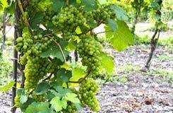 Vine stock Green Veltliner Royalty Free Stock Photography