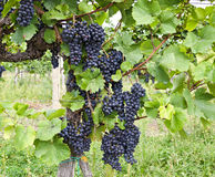 Vine stock of the variety Zweigelt Royalty Free Stock Images
