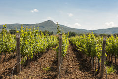 Grapevines and Hills in Tuscany Stock Image