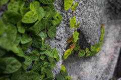 Vine on stone wall. A green vine growing on a stone wall Stock Images