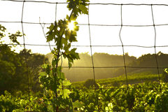 Vine and Sun Stock Photography