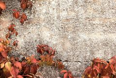 Vine in autumn on concrete. Vine in the sunny autumn on the concrete day royalty free stock images