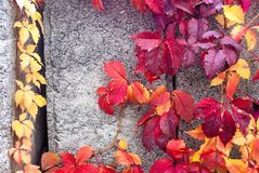 Vine in the sunny autumn on the concrete day. Vine in autumn on concrete royalty free stock photos