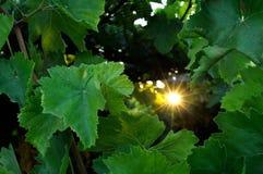 Vine at sunset. Vine leaves shot against the sun Stock Photo