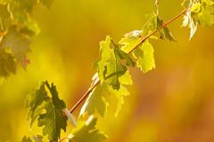 Vine in sunset Royalty Free Stock Photography