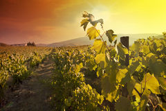 Vine. Sunset in a vineyard in Douro Stock Images