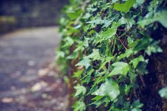 Vine surrounding the wall of a bridge stock images