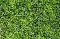 Vine texture Stock Image