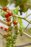 Vine tomato Royalty Free Stock Photo