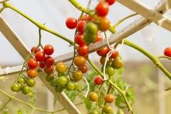 Vine tomato Stock Images