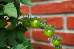 Vine tomato Stock Photos