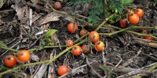 Vine Tomato tree Stock Images