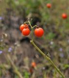 Vine Tomato tree Stock Photos