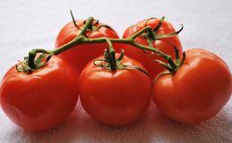 Vine Tomatoes. Fresh picked Tomatoes in sunshine Stock Photography