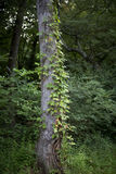 Vine tree. A vine growing up the side of a tree Stock Images