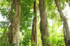 Vine on a tree Royalty Free Stock Photo