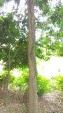 Vine on tree Royalty Free Stock Photo