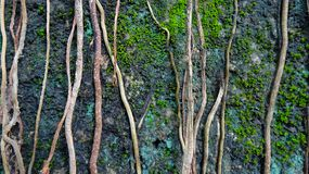 The vine of the tree stretches onto the stone royalty free stock photo