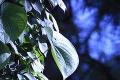Vine on tree trunk Stock Photo
