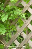 Vine and trellis. Vining plant climbing over a wooden trellis Stock Image