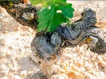 Vine trunk detail in vineyard. Stock Image