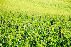 Vine in Tuscany royalty free stock images